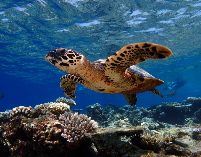 Baros-Maldives_Housereef-turtles-1605794116.JPG